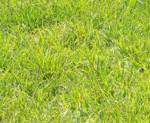 Kikuyu Turf
